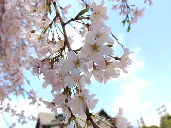 旧古河庭園 桜 開花状況