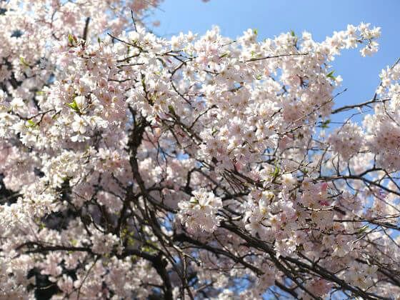 旧古河庭園 桜 見頃