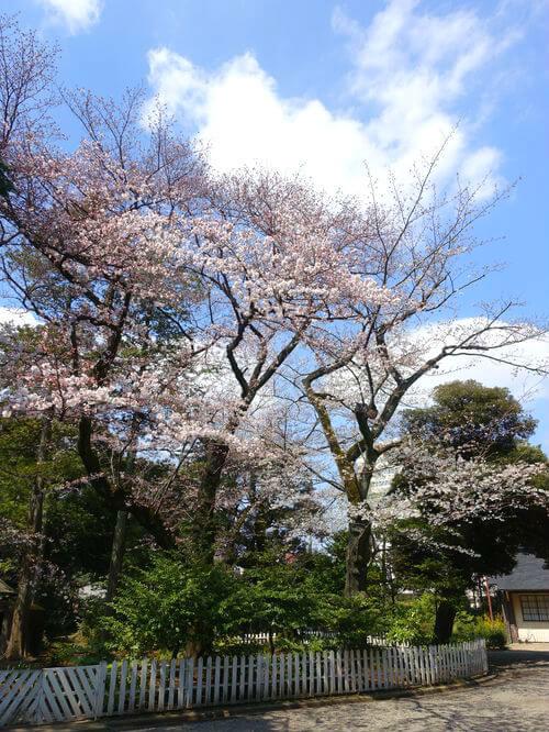 ソメイヨシノ 旧古河庭園