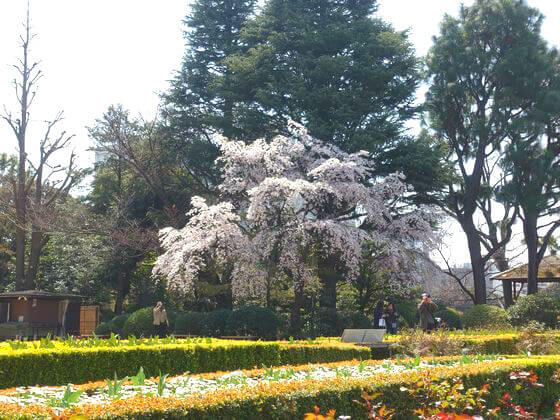 旧古河庭園 しだれ桜