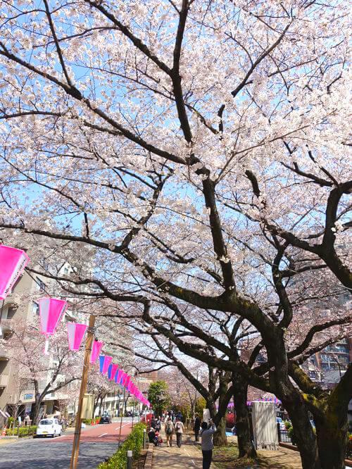 播磨坂 桜並木