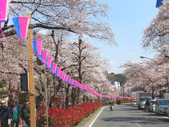播磨坂 桜 開花状況