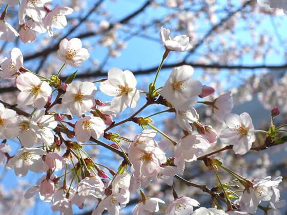 桜 文京区