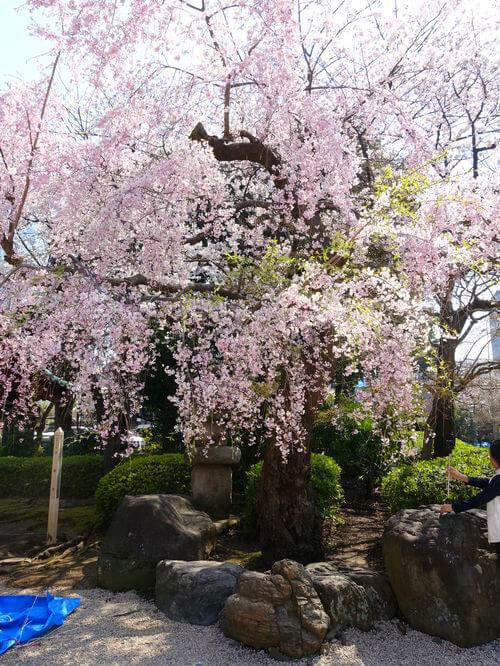 増上寺 しだれ桜