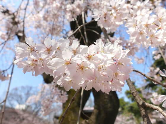 増上寺 桜 見頃