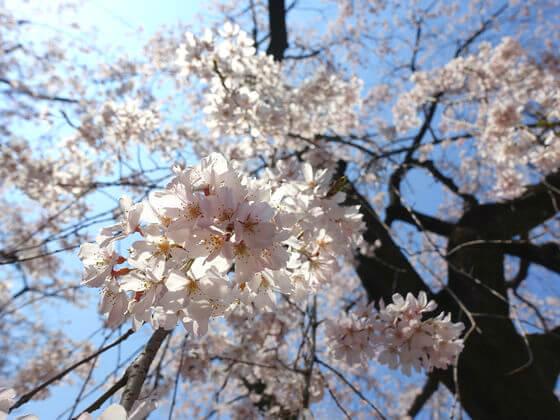 しだれ桜 増上寺