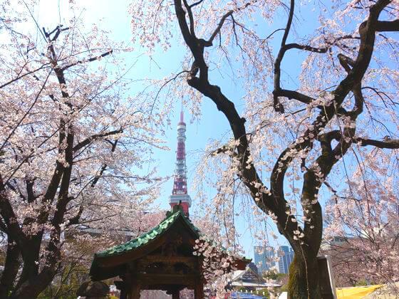 増上寺 桜