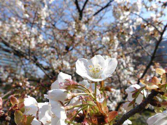 旧芝離宮恩賜庭園 山桜