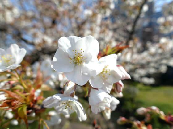 山桜 旧芝離宮恩賜庭園