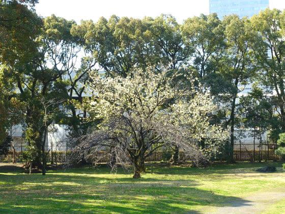 旧芝離宮恩賜庭園 オオシマザクラ