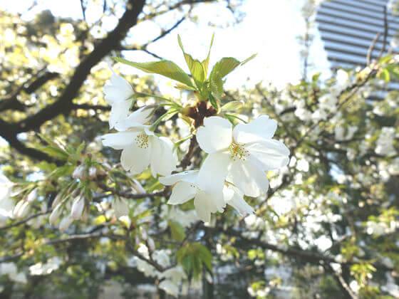旧芝離宮恩賜庭園 大島桜