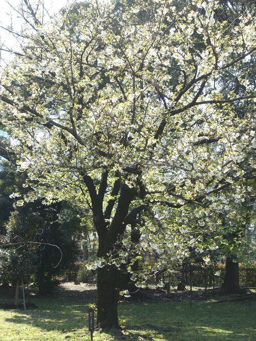 大島桜 旧芝離宮恩賜庭園