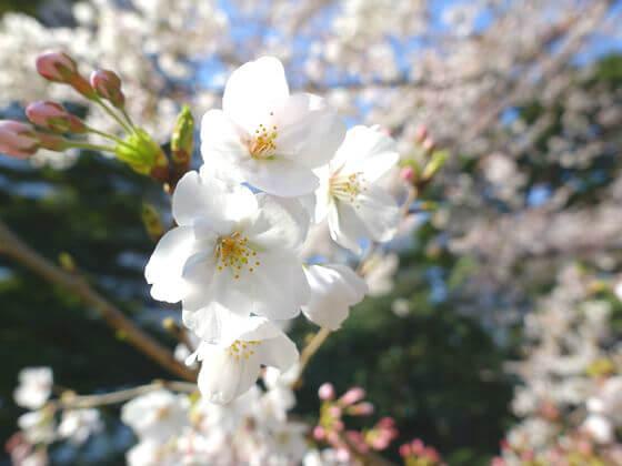 旧芝離宮恩賜庭園 桜 見頃