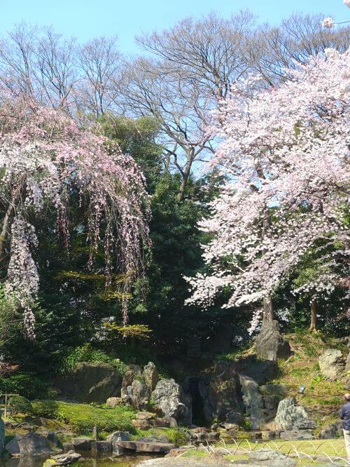 靖国神社 桜 穴場