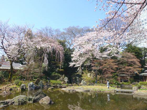 靖国神社 神池 桜
