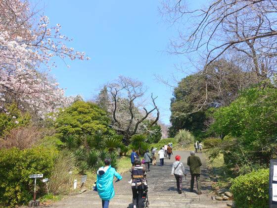小石川植物園 お花見