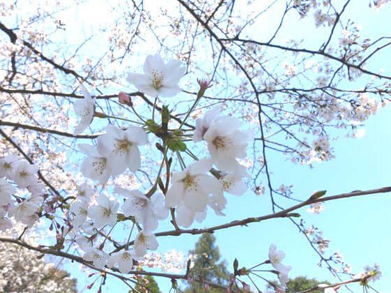小石川植物園 花見