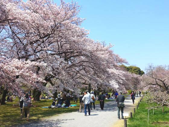 小石川植物園 ソメイヨシノ
