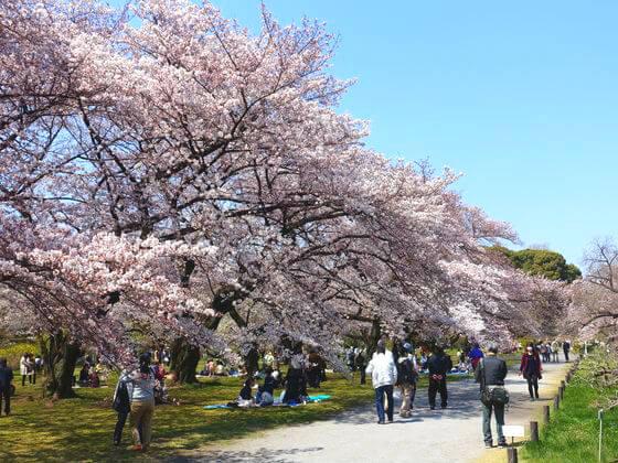 小石川植物園 桜