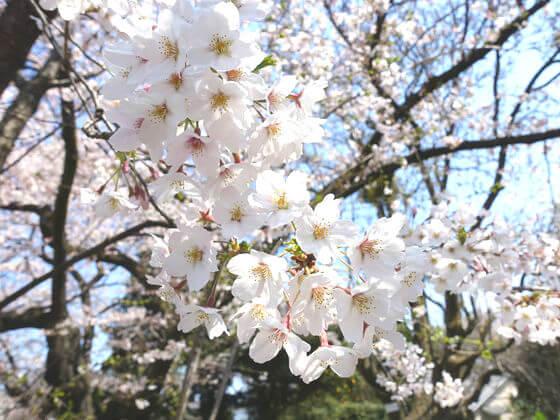 小石川植物園 桜 見頃