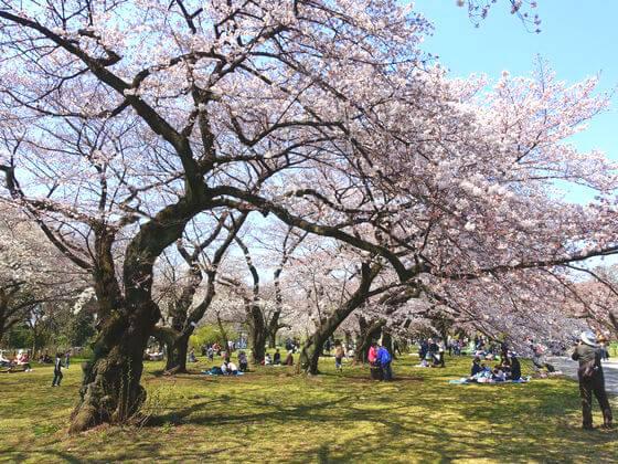 ソメイヨシノ 小石川植物園