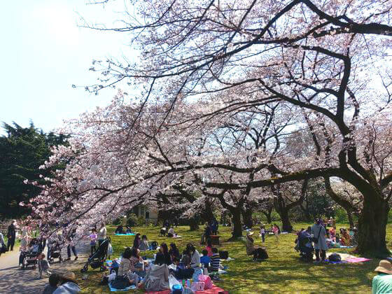 染井吉野 小石川植物園