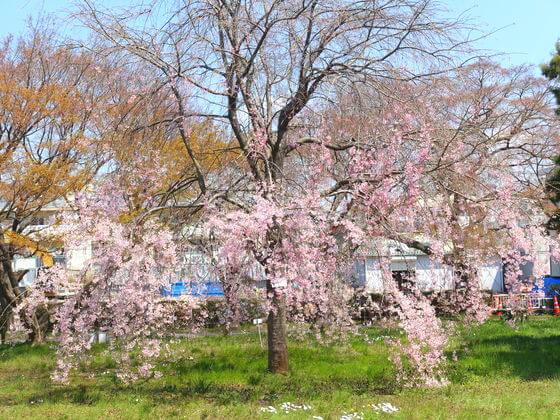 小石川植物園 しだれ桜
