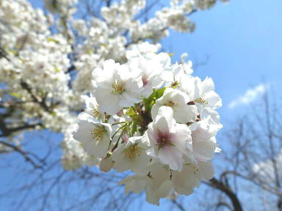 天城吉野 小石川植物園