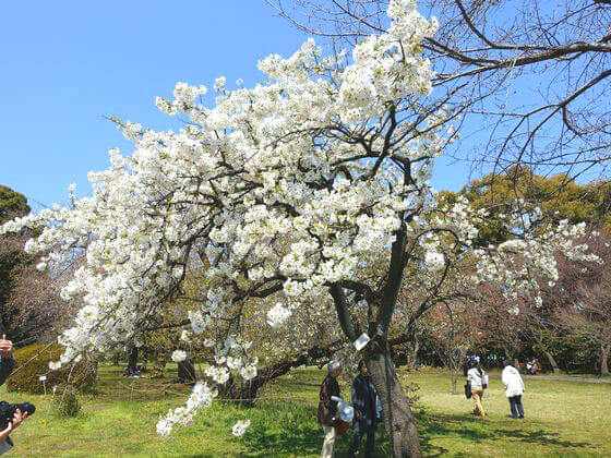 小石川植物園 天城吉野