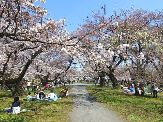 小石川植物園 ソメイヨシノの林