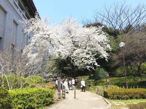 東京国立博物館 庭園 桜