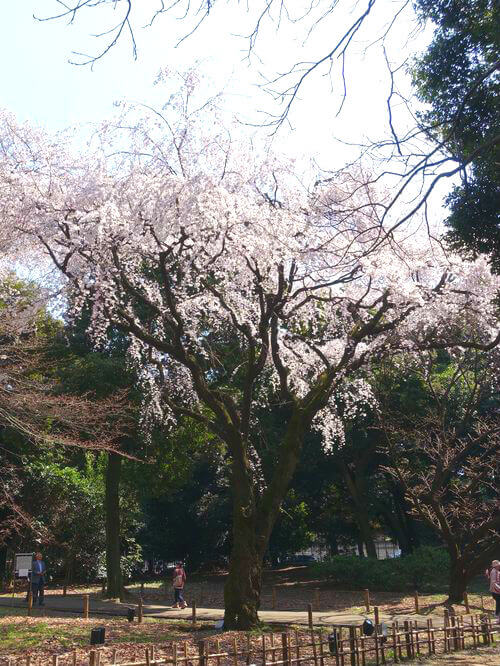 東京国立博物館 しだれ桜
