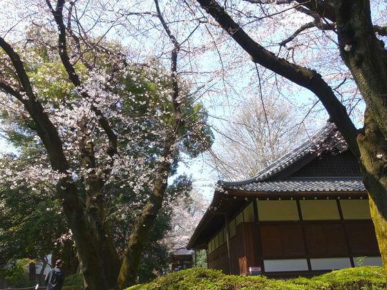 東京国立博物館 桜 開花状況
