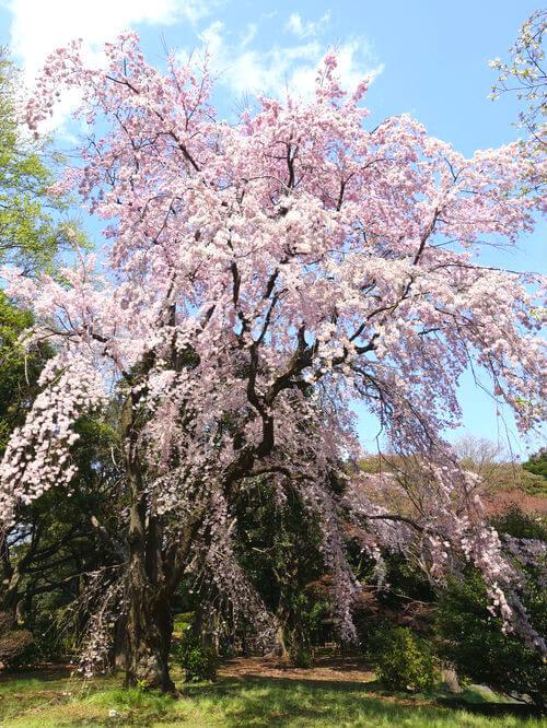 枝垂れ桜 東京国立博物館