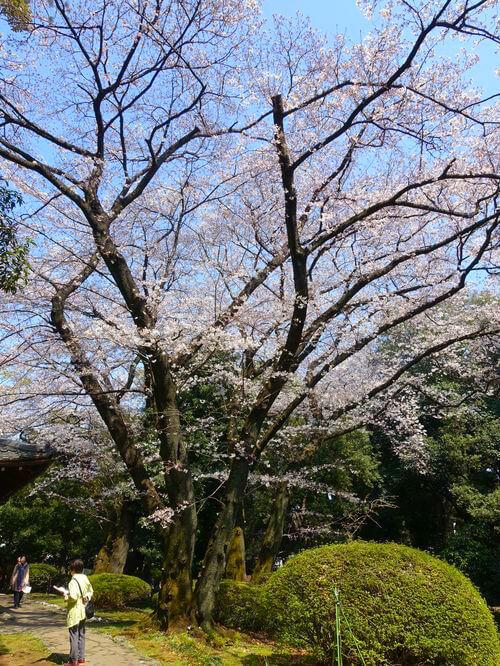 桜 東京国立博物館