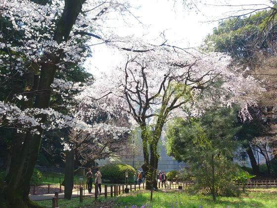 しだれ桜 東京国立博物館