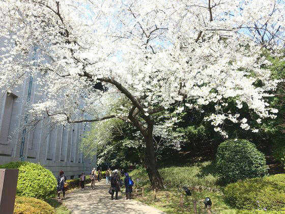 東京国立博物館 ミカドヨシノ