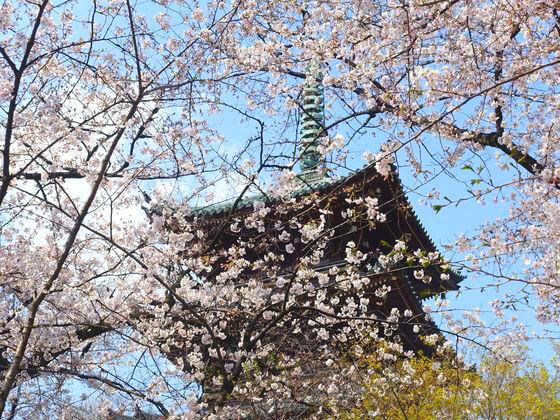 上野 公園 桜 2020
