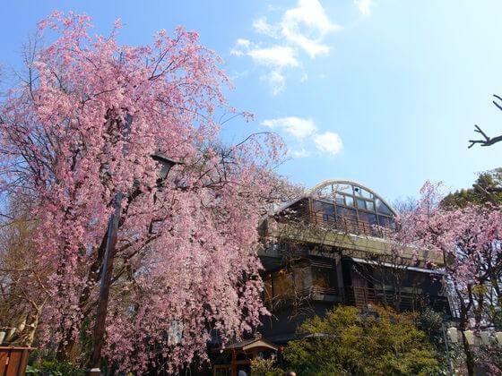 上野 桜 開花状況
