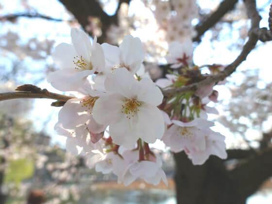 上野 桜 見頃
