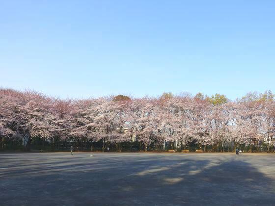 お花見 林試の森公園