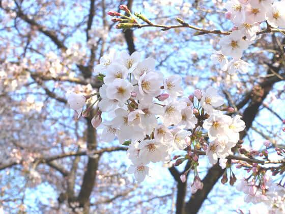 林試の森公園 花見