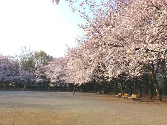 林試の森公園 ソメイヨシノ