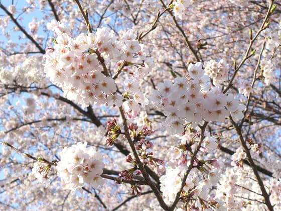 林試の森公園 桜 開花状況