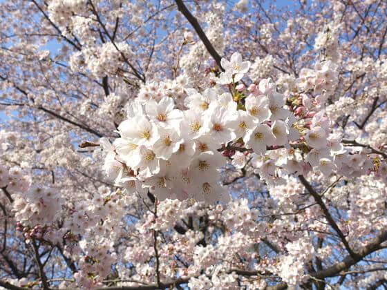 林試の森公園 桜 見頃