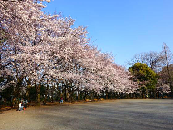 林試の森公園 桜