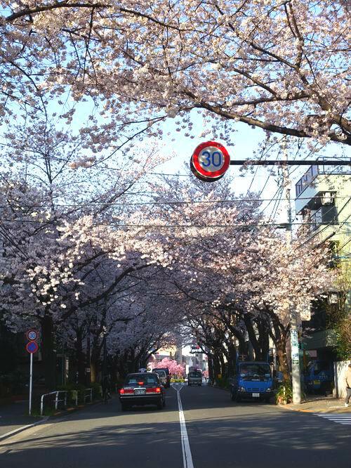 品川区 かむろ坂 桜