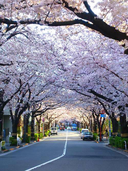 桜 かむろ坂