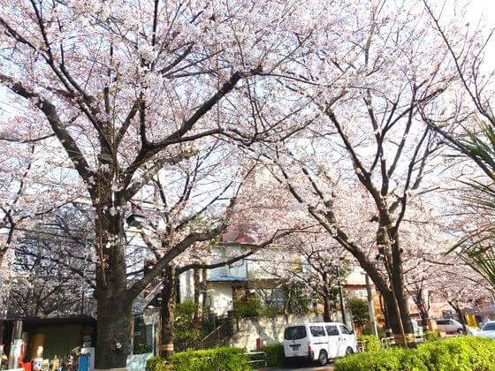 品川 かむろ坂 桜