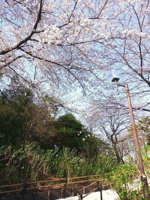 多摩川台公園 お花見
